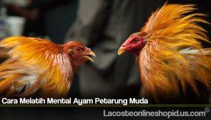 Cara Melatih Mental Ayam Petarung Muda