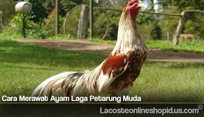 Cara Merawat Ayam Laga Petarung Muda