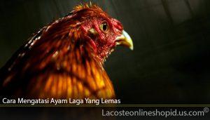 Cara Mengatasi Ayam Laga Yang Lemas