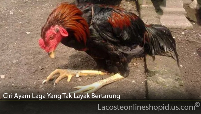 Ciri Ayam Laga Yang Tak Layak Bertarung