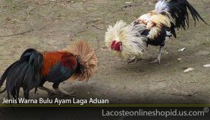 Jenis Warna Bulu Ayam Laga Aduan